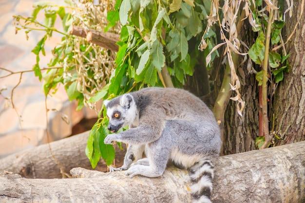 Lémurien au zoo
