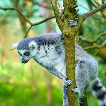 Lémurien perché sur une branche d'arbre regardant vers le bas.