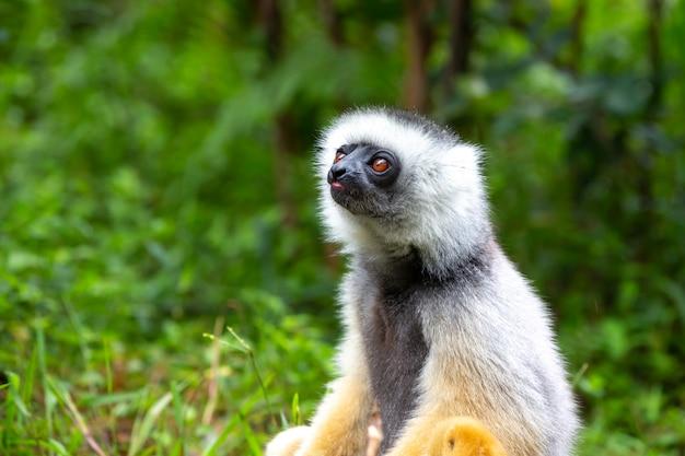 Un lémurien sifaka dans la forêt tropicale de l'île de madagascar