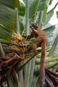 Un lémurien vari rouge sur un plant de bananier