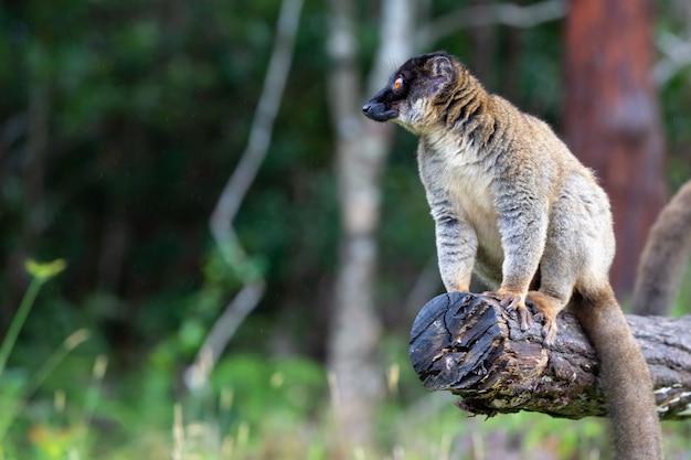 Les lémuriens sur une bûche suspendue au-dessus de l'eau