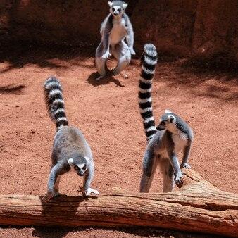 Lémuriens catta (lemur catta) au bioparc de fuengirola