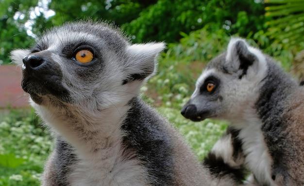 Lemurs à queue annelée dans le parc national de l'île de madagascar.