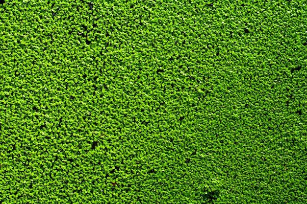 Lentilles d'eau vertes naturelles sur l'eau