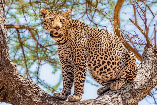 Léopard africain assis sur un arbre à la recherche dans une jungle