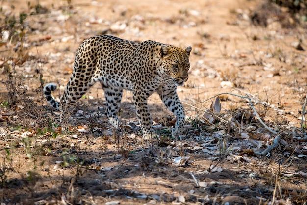 Léopard africain se prépare à chasser une proie dans un champ sous la lumière du soleil