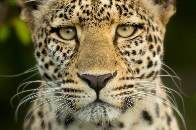 Léopard dans la réserve nationale du serengeti