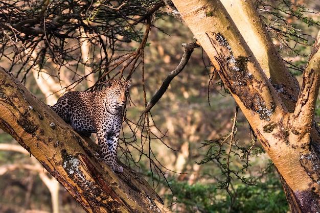 Léopard en embuscade sur l'arbre. lac nakuru, kenya