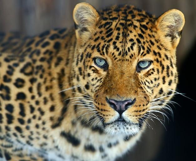 Léopard à l'état sauvage sur l'île du sri lanka