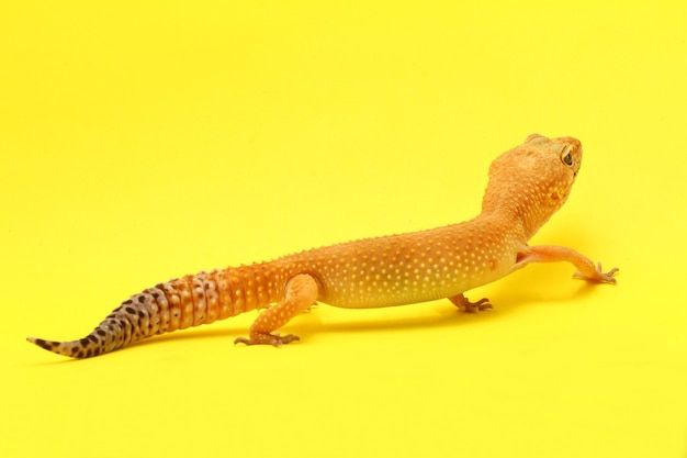Leopard gecko sur fond jauneleopard gecko lizard close up macro