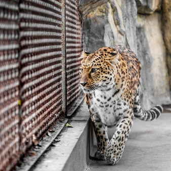 Leopard in cage at zoo