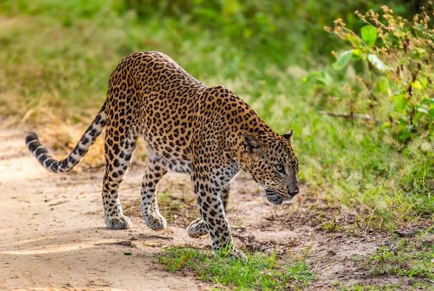 Leopard marche le long d'une route forestière