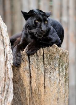 Léopard noir