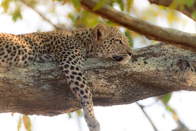 Léopard portant sur un arbre