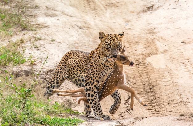 Léopard avec proie marche le long d'une route forestière