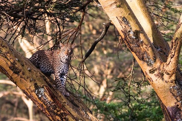 Léopard se cachant sur l'arbre. nakuru, afrique