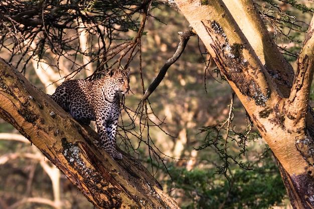 Léopard se cachant sur l'arbre. nakuru, kenya