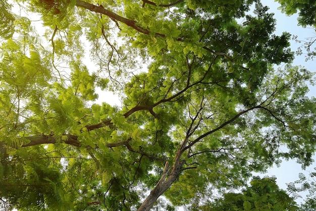 En levant les yeux dans une forêt verte au printemps