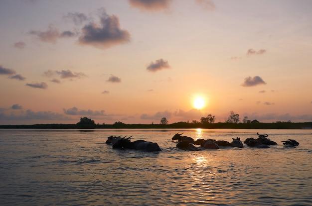 Lever du soleil et les buffles dans l'eau au sanctuaire de la faune de thalenoi, phattalung, thaïlande.