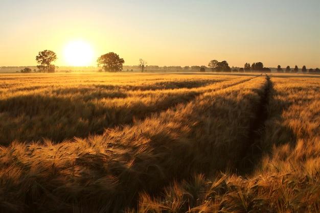 Lever du soleil sur un champ de céréales par temps brumeux