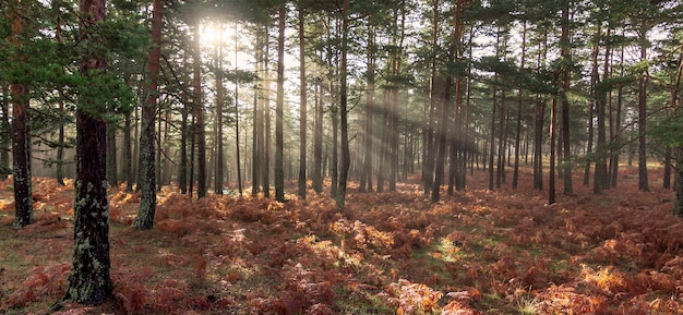 Lever de soleil dans la forêt, rayons de soleil pénétrant dans les arbres. photographie de la nature dans le parc naturel, peguerinos, avila, castille et leon, espagne.