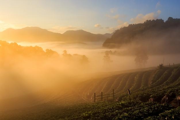 Lever soleil, dans, fraise, jardin, vue, de, matin, brume, à, doi, angkhang, montagne, chiang mai, thaïlande