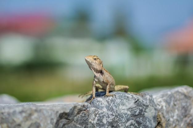 Lézard asiatique grimpant sur un sol rocheux, à la recherche de quelque chose