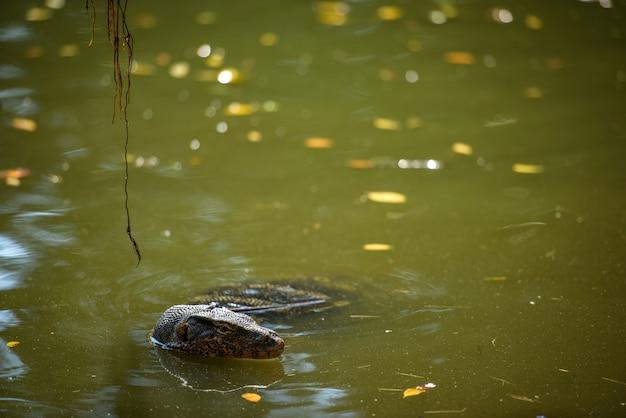 Un lézard asiatique surveillant de l'eau nage dans un étang