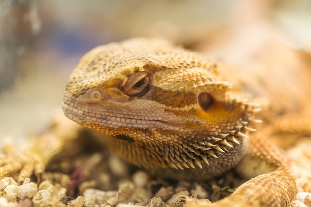 Lézard barbu adulte (agama, pogona vitticeps) dans un terrarium