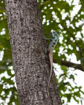 Lézard bleu dans l'arbre