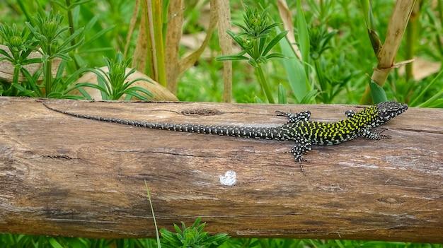 Lézard bronzer sur une clôture en bois