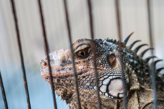 Lézard brun dans la cage