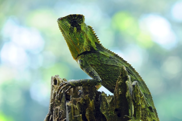 Lézard caméléon reptiles vert