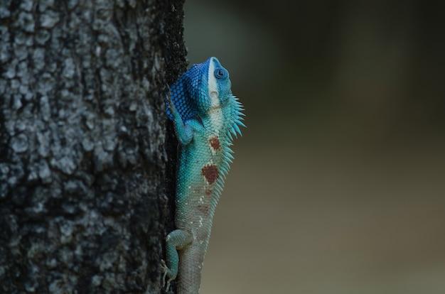 Lézard à crête bleue ou lézard des forêts indochinois