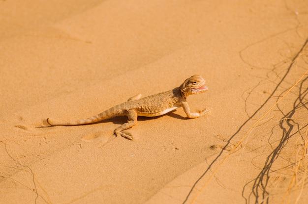 Lézard dans le désert sur le sable jaune. reptile dans le désert
