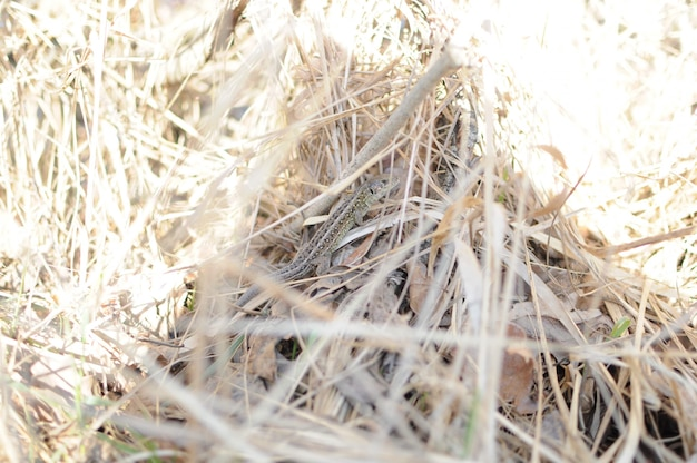 Lézard dans l'herbe de paille