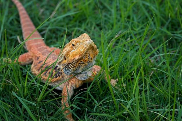 Lézard dragon barbu à l'intérieur d'un buisson