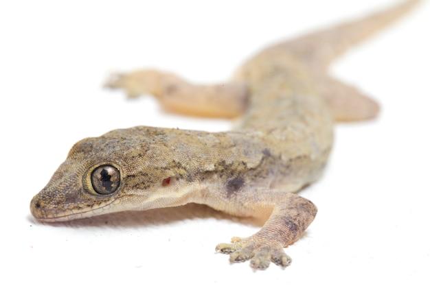 Lézard gecko commun isolé sur blanc