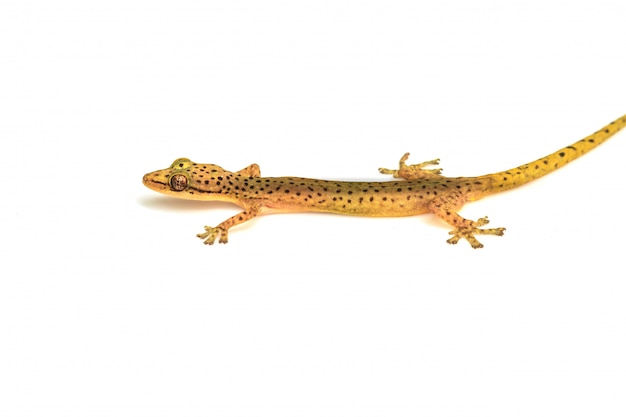 Lézard gecko isolé sur blanc