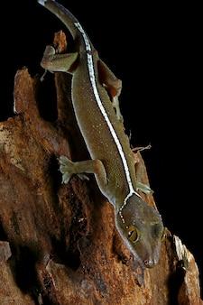 Lézard gecko de ligne blanche
