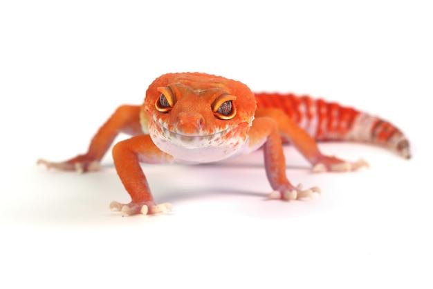 Lézard gecko orange sur fond blanc