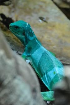 Lézard. iguane reptile géant vert et bleu se bouchent. iguane à crête des fidji - brachylophus vitiensis. famille des iguanidae.