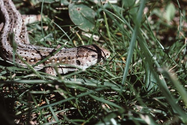 Un lézard de jardin se cache dans l'herbe verte