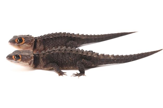 Lézard scinque crocodile aux yeux rouges sur espace blanc