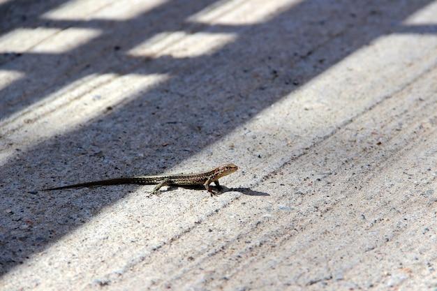 Lézard se dorant au soleil sur un reptile de dalle de béton