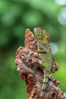 Lézard à tête caméléon sur une branche d'arbre