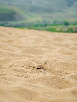 Lézard à tête ronde du désert calme sur le sable dans son environnement naturel. dune de sarykoum. daghestan. vue verticale.