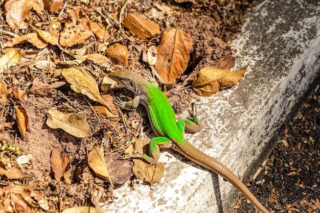 Lézard vert (ameiva ameiva) bronzer..