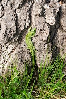 Lézard vert sur une branche d'arbre