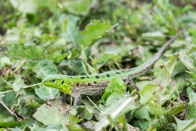 Lézard vert dans l'herbe